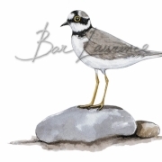 Laurence-Bar-2017-GUIDE NATURE OISEAUX-BORDS-MER-17